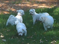 Four white dogs